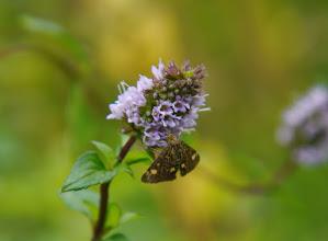 Photo: Muntvlindertje op - inderdaad - bloeiende munt.
