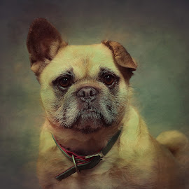 It Wasn't Me by CLINT HUDSON - Animals - Dogs Portraits ( pug, dog, cute, french,  )