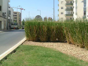 Photo: PRT-LS03  Lagos, Portugal.  Vetiver used as a screen against oncoming car lights
