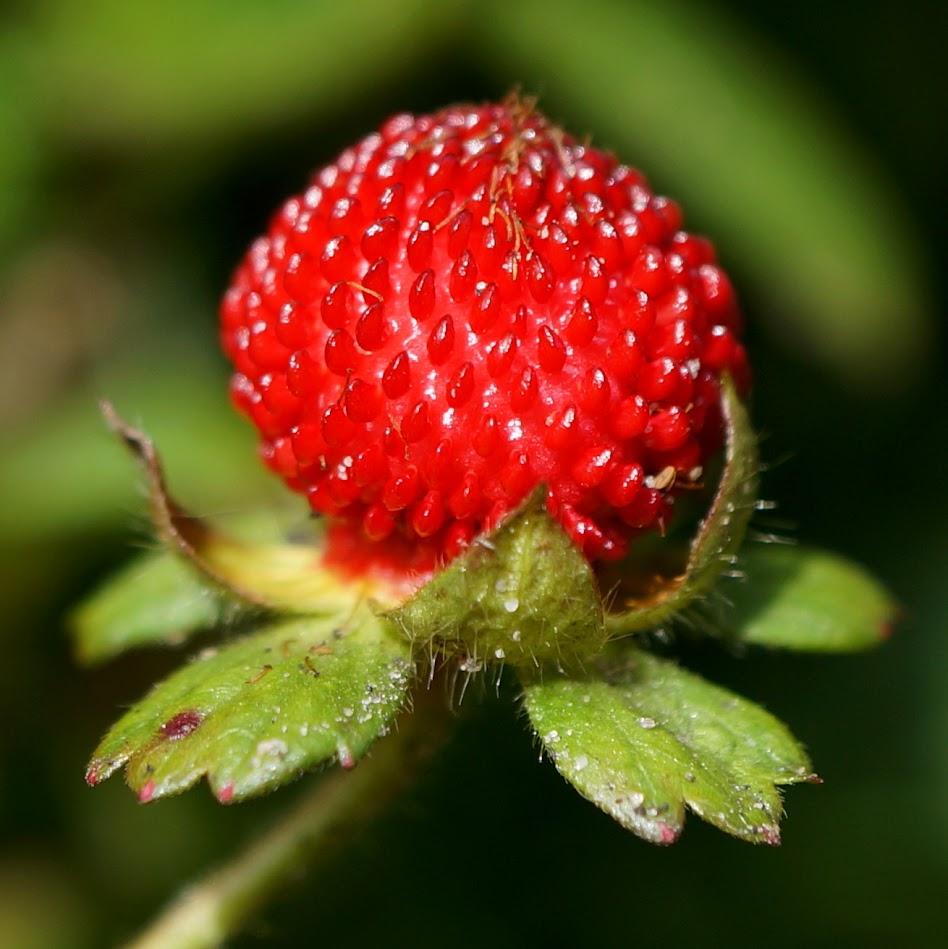 vrucht