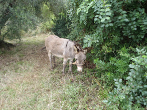 Photo: (Croatian) donkey