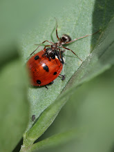Photo: Ant climbing over it, not sure whether it is trying to attack or just scare off the ladybird