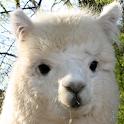 alpaca wallpaper icon