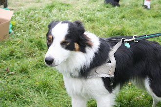 Photo: Galu Border Collie after a face lift?