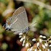 Blue Spot Hairstreak