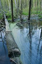 Photo: Żeremia bobra nad zalewem w Stawiskach