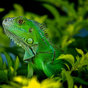 by Sugeng Sutanto - Animals Reptiles