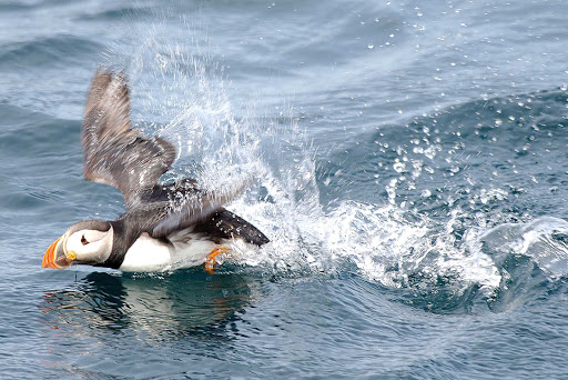 A puffin hunts for its next meal in the coastal waters of Avalon Peninsula, Newfoundland.