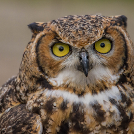 Owl by Garry Chisholm - Animals Birds ( raptor, owl, bird of prey, nature, garry chisholm )