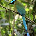 Barranquillo o Barranquero - Andean Motmot