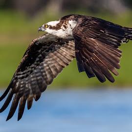 Osprey Flyby by Carl Albro - Animals Birds ( bird, flying, hawks and eagles, bif, osprey )