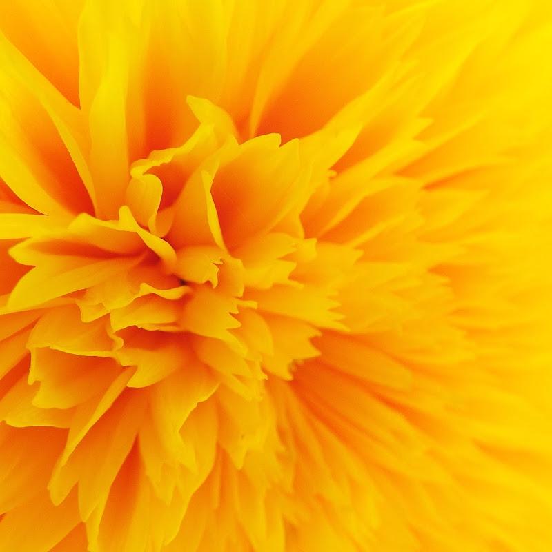 Yellow flower di MimaSamiM
