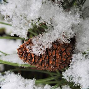 Mugo Pine Cone by Carol Leynard - Nature Up Close Trees & Bushes ( mugo, pine, snow, cone, shrub )