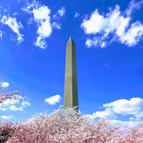Washington Monument Cherry Blossoms by Chris Montcalmo - Flowers Tree Blossoms ( cherry blossoms dc, washington monument, washington dc, national mall, cherry blossoms )