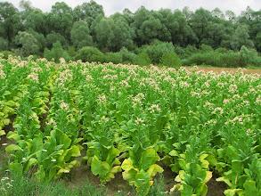 Photo: Kwitnący tytoń