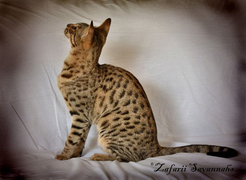 Savannah cat price range. Savannah cost. Where to buy Savannah kittens?