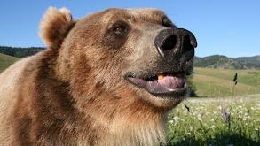 Grizzly vs. Polar Bear thumbnail