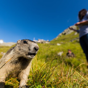 Marmot-Selfie by Michael Strobl - Animals Other Mammals ( selfie, nature, marmot, cute, animal, alps )