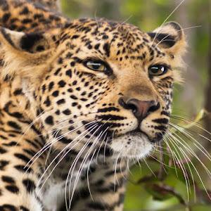 Leopard cub_Sabi Sands_March 2015.jpg