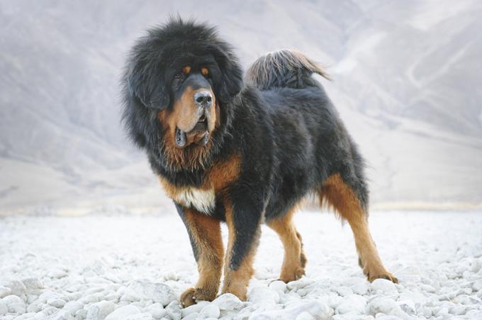 Image result for tibetan mastiff