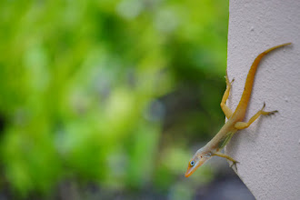 Photo: Good morning! This little lizard was climbing the walls of the garden at our hotel in Antigua one morning.