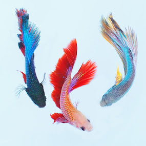 Colorful by Asep Bowie - Animals Fish ( macro, color, fish, animal, three )