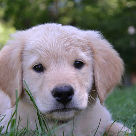 Lovely puppy  by Isabelle Largen - Animals - Dogs Portraits