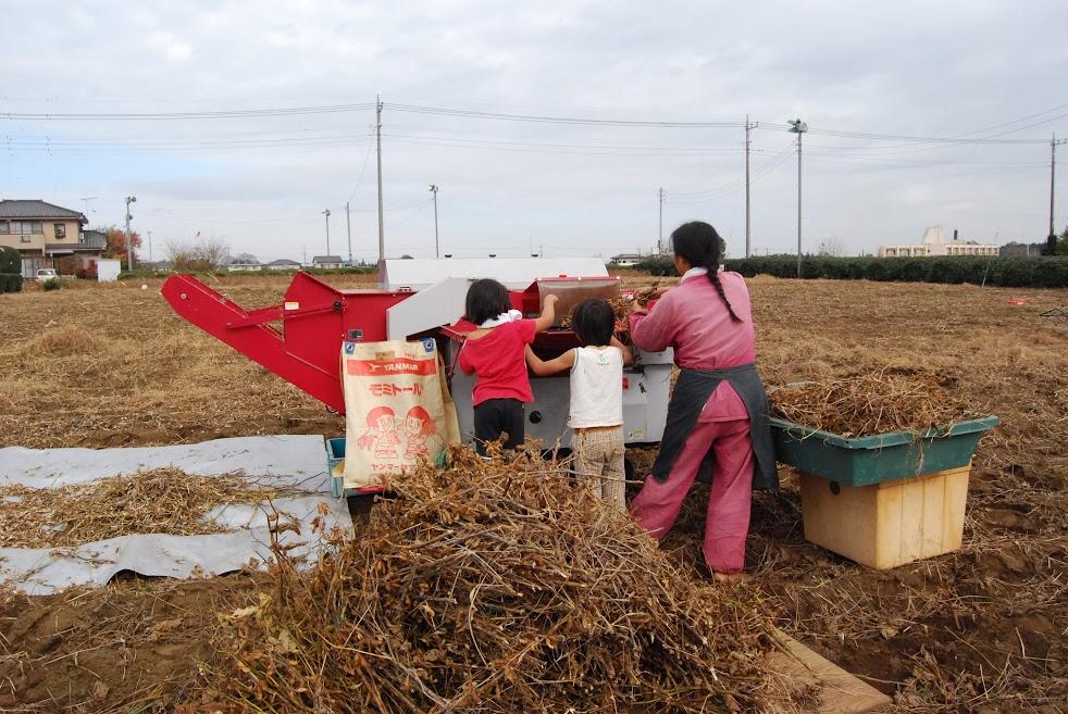 大豆の脱穀機で、次々と脱穀します