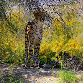 Cheetah in the shade from the Afternoon sun while wild yellow flowers are in bloom in the background  by LaDonna McCray - Animals Lions, Tigers & Big Cats ( fur, fast, mammals, lean, yellow flower, spots, cheetah )