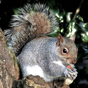 Squirrel  by Martin Brown - Animals Other Mammals ( nature, lumix, outdoors, eating, squirrel,  )