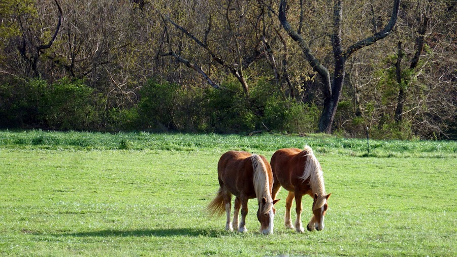 Grazing Together by Ashley Ellis - Animals Other Mammals ( blonde, pasture, peaceful, grazing, horses, grass, pair, horse, trees, landscape,  )