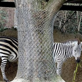 zebra, one or two by Radisa Miljkovic - Animals Horses