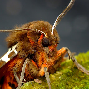 Garden Tiger Moth by Pat Somers - Animals Insects & Spiders (  )