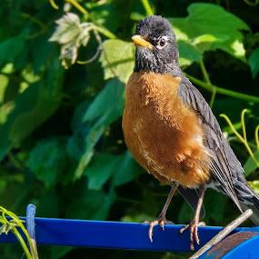 Waiting for Batman by Russ Quinlan - Animals Birds ( bird, robin, nature, red breast, birds )