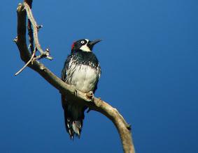 Photo: Adult female Acorn Woodpecker, Huachuca Canyon, Arizona
