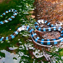 Blue lipped sea krait