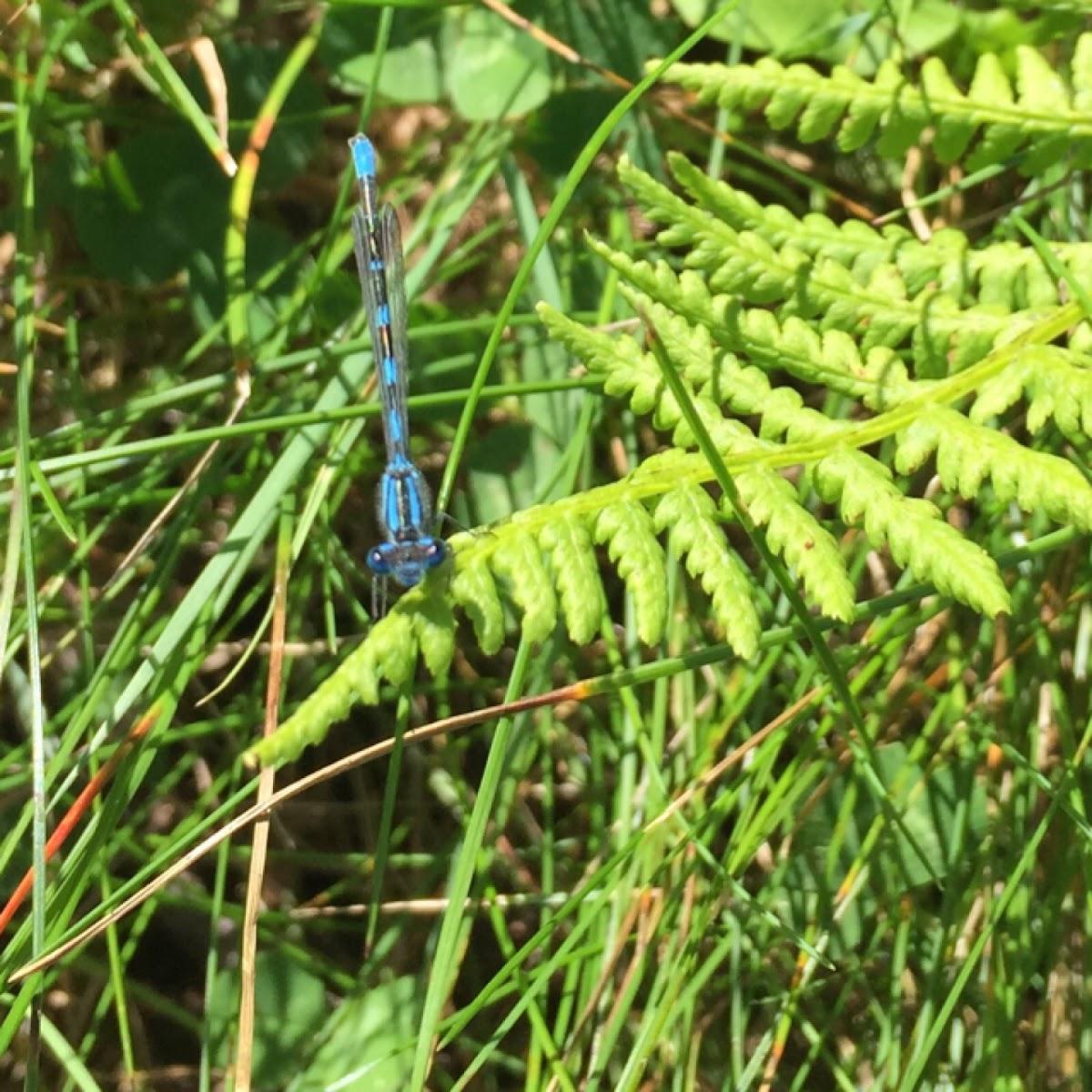 Bluetail Damselfly