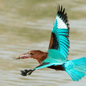 White-throated Kingfisher by Ken Cheung - Animals Birds ( fly, kingfisher, white-throated kingfisher )