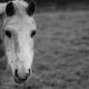 Hello by Jenna Keyes - Animals Horses ( field, potrait, pony, grey, head )