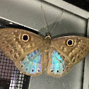 Blue-winged Eurybia Butterfly