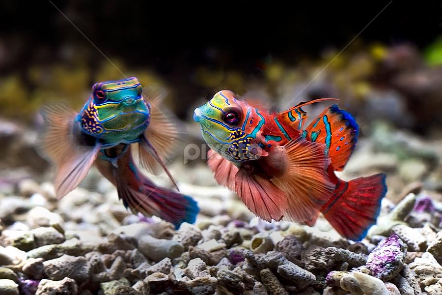 couple mandarin fish  by Arif Otto - Animals Fish