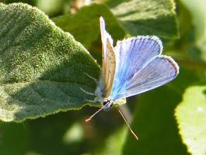Photo: Bonjour, ?? Polyommatus sp. - Lubéron (04) - juillet. Il n'a pas voulu me montrer le dessous de ses ailes...