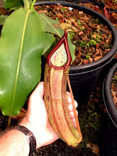 Photo: Nepenthes spec. novae (2004). Foto: R. Cantley.