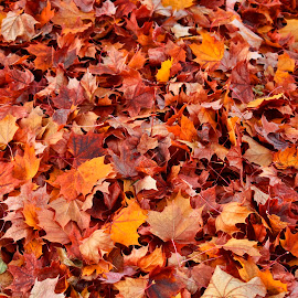 Fall Leaves by Terry Oviatt - Nature Up Close Leaves & Grasses (  )