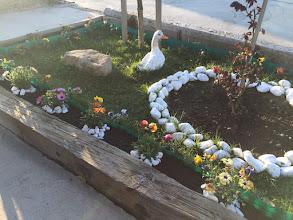 Photo: Papatyaların diplerine ufak beyaz taşlar koydum. Çok mu güzel oldu ne?