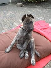 Photo: Kyra als pup, 8 weken oud