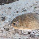 Hispid Cotton Mouse