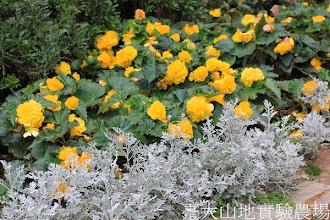 Photo: 拍攝地點: 梅峰-溫帶花卉區 拍攝植物: 球根秋海棠(黃色) 銀葉菊(白色) 拍攝日期:2013_09_28_FY