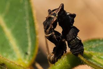 Photo: A twig-mimmicking caterpillar Uma lagarta que imita um pau seco