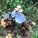 Ringless Honey Mushroom